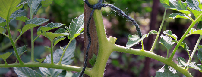 Pruning your beefsteak tomato plants